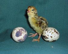 Цыплёнок перепёлки
