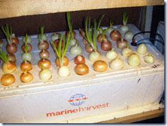 Зеленый лук выращивание на гидропонике 299